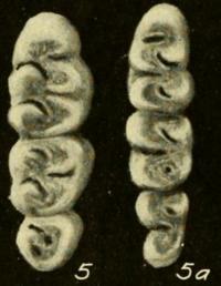 Tres dientes tanto a la izquierda como a la derecha, disminuyendo de tamaño de arriba a abajo.
