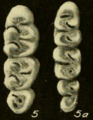 Oryzomys bombycinus molars.png