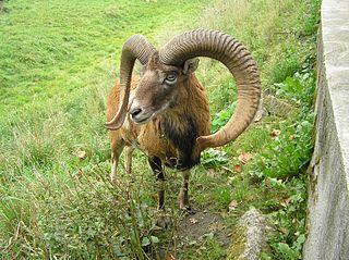 Muflón lesný (lat. Ovis musimon) - samec