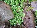 Oxyria digyna (Habitus).jpg