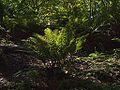 P20130819-0052—Polystichum munitum—RPBG (9599733339).jpg