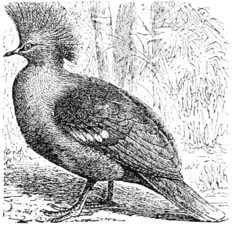 PSM V55 D057 Crown pigeon.png