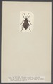 Pachylis - Print - Iconographia Zoologica - Special Collections University of Amsterdam - UBAINV0274 002 02 0017.tif