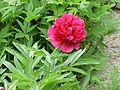 Paeonia officinalis officinalis1.jpg