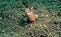 Painted Frogfish (Antennarius pictus) (6064654423).jpg