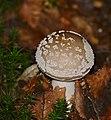 Panthercap Mushroom (Amanita pantherina) (35227498411).jpg