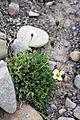 Papaver dahlianum spp polare Svalbardvalmue 01.jpg
