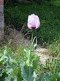 Papaver somniferum (1).jpg