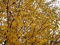 Paper Birch Leaves 2 (5166682295).jpg