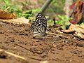 Papilio clytia Linnaeus, 1758 – Common Mime at Kottiyoor Wildlife Sanctuary (30).jpg