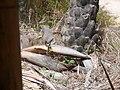 Papilio demodocus 0002.jpg