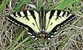 Papilio glaucus (female eastern tiger swallowtail butterfly) (near the Upper Falls of the Gooseberry River, Minnesota, USA) (18617499844).jpg