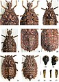 Paralibiocoris heissi (10.3897-zookeys.789.26165) Figures 5–17.jpg