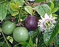 Passiflora edulis f. edulis Sims.jpg