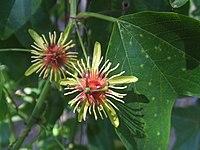 Passiflora jorrulensis1