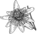Passionflower (PSF).png