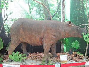 Bornean rhinoceros - Preserved Bornean Rhinoceros.