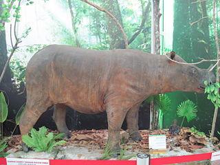 Subspecies of Sumatran rhinoceros