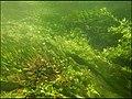 """Paysage subaquatique Subaquatic landscape rivière """"Les Baillons"""" à Enquin-sur-Baillons F Lamiot 24.jpg"""