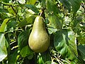 Pear (Pyrus communis) (19691456728).jpg