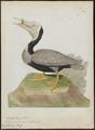 Pelecanus fuscus - 1790-1796 - Print - Iconographia Zoologica - Special Collections University of Amsterdam - UBA01 IZ18000177.tif