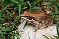 Pelophylax lateralis, Kokarit frog (brown) - Kaeng Krachan District, Phetchaburi (34876818856).jpg