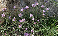 Pennyroyal Monardella Duck Lake trail.jpg
