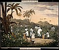 People with baskets and sacks pick cotton on a plantation. Coloured lithograph after J.R. Barfoot.jpg