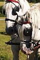Percherons Blancs Cl J Weber0009 (23715634479).jpg