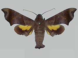 Perigonia pittieri BMNHE273110 male up.jpg