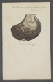 Perna ephippium - - Print - Iconographia Zoologica - Special Collections University of Amsterdam - UBAINV0274 075 06 0003.tif