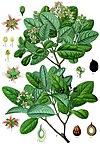 Peumus boldus - Köhler–s Medizinal-Pflanzen-104.jpg