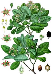 Boldo species of plant