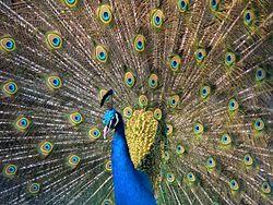 الطاووس (بالإنجليزية: Peafowl) 250px-Pfau_imponierend