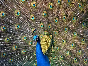 Peacock (Pavo cristatus), displaying his tail,...