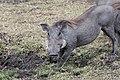 Phacochoerus africanus in Kenya 01.jpg