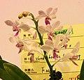 Phalaenopsis Rainbow Chip x Vandachostylis Laem Sing -台南國際蘭展 Taiwan International Orchid Show- (38976435620).jpg