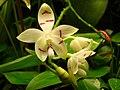 Phalaenopsis tetraspis.jpg