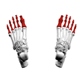 Phalanges of the foot04a superior view.png