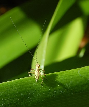 Phaneroptera nana-2