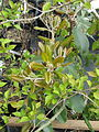 Photinia sp Bodnant (17333284815).jpg