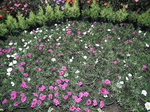 Thekkady Rose Park (Kumily rose park)