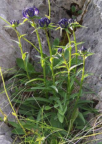 Phyteuma orbiculare - Plant of Phyteuma orbiculare