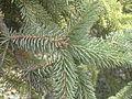 Picea asperata Brno3.JPG