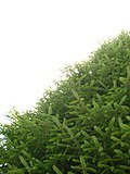 Picea morrisonicola Alishan.jpg