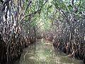 Pichavaram forest1.jpg