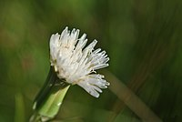 Picrosia longifolia- Soriano, Palmar, Suelo pedregoso arenoso húmedo al margen del Lago 1.jpg