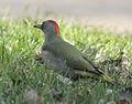 Picus viridis sharpei 012.jpg