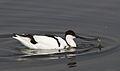 Pied Avocet, Recurvirostra avosetta at Marievale Nature Reserve, Gauteng, South Africa (21008107786).jpg