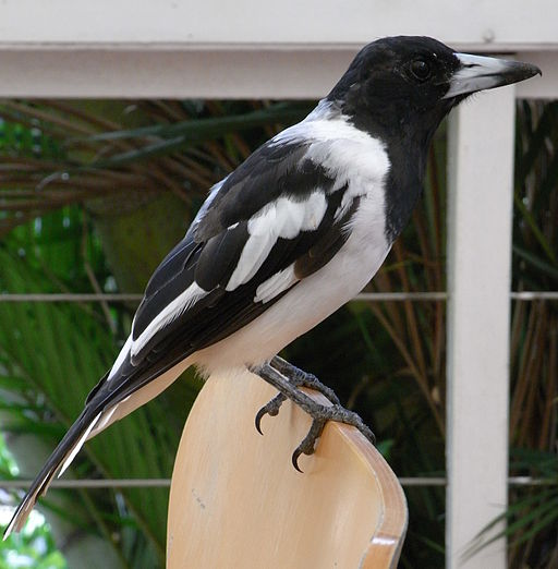Pied Butcherbird Male